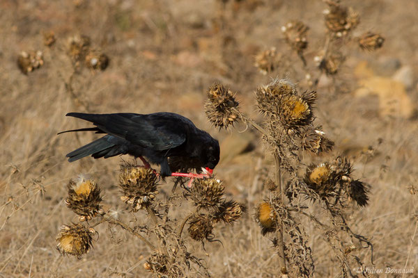 Crave à bec rouge (Pyrrhocorax pyrrhocorax) (Sagres (Vila do Bispo), (Algarve), Portugal, le 31/08/2018)