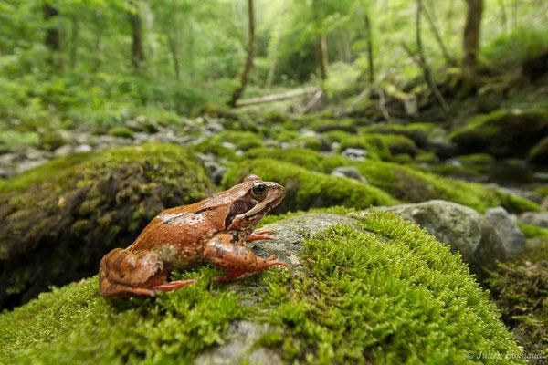 Grenouille rousse – Rana temporaria Linnaeus, 1758, (adulte en estivage) (Oloron-Sainte-Marie (64), France, le 26/05/2021)
