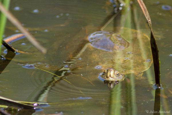 Émyde lépreuse (Mauremys leprosa) (Parc national de Doñana, El Rocio (Andalousie), Espagne, le 07/08/2020)