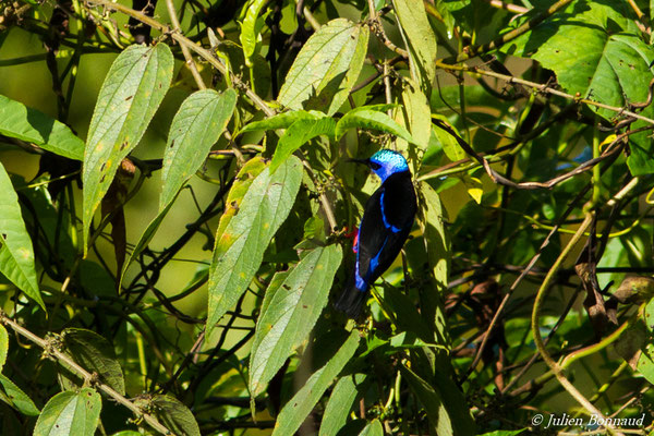 Guit-guit saï (Cyanerpes cyaneus) (mâle adulte) (Elisée, le 24/09/2016)