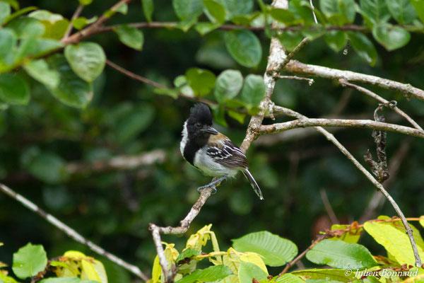 Batara huppé (Sakesphorus canadensis) (mâle, adulte) (Centre Spatial Guyanais, Kourou, le 17/02/2017)