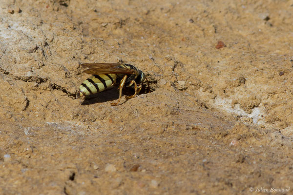 Bembex à rostre (Bembix rostrata) (Reserve naturelle des Lagunes de Villafáfila (Castille-et-León), Espagne, le 01/08/2020)