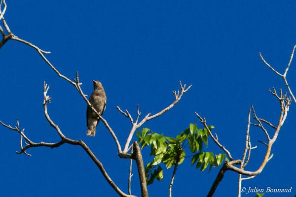 Cotinga pompadour (Xipholena punicea) (femelle adulte) (Yaou, Maripassoula, le 28/09/2016)