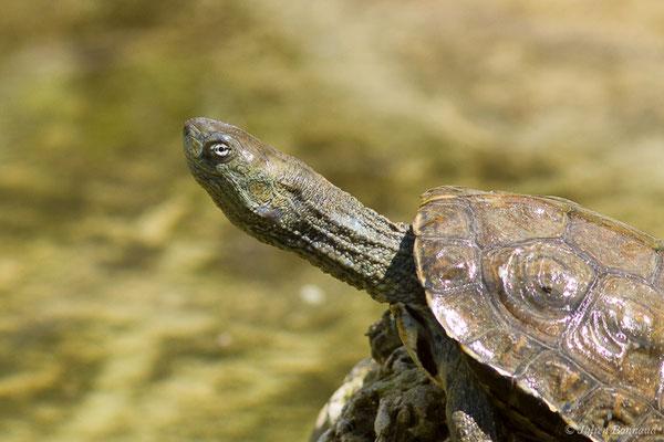 Émyde lépreuse – Mauremys leprosa (Schweigger, 1812), (adulte), (Zoodycée, Chizé (79), France, le 12/06/2021)