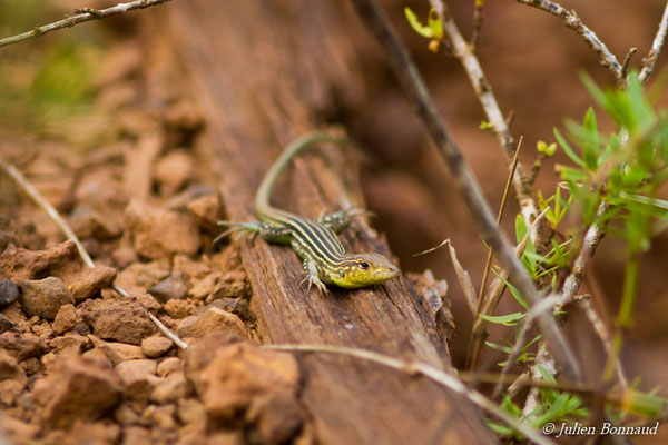 Lézard coureur incertain (Cnemidophorus lemniscatus) (femelle adulte) (Kourou, le 14/03/2017)