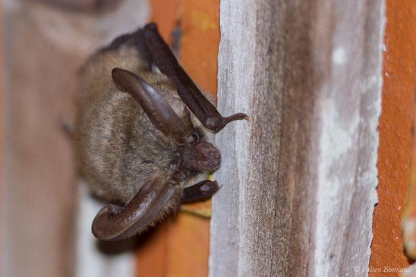 Oreillard gris – Plecotus austriacus (J. B. Fischer, 1829), (Mézières-en-Brenne (36), France, le 16/06/2021)