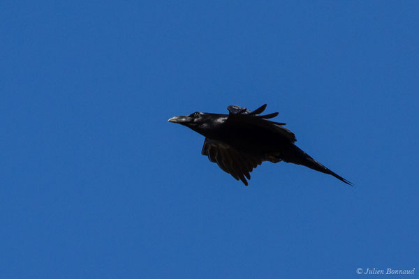 Grand Corbeau (Corvus corax) (Pihourc, Saint-Godens (31), France, le 24/10/2018)