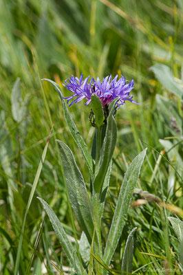 Bleuet des montagnes (Cyanus montanus) (Col du Pourtalet, Laruns (64), France, le 22/06/2019)