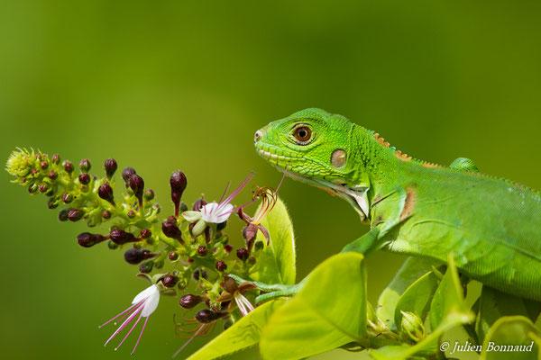 Iguane vert (Iguana iguana) (juvénile) (Centre Spatial Guyanais, Guyane, Kourou, le 21/02/2017)