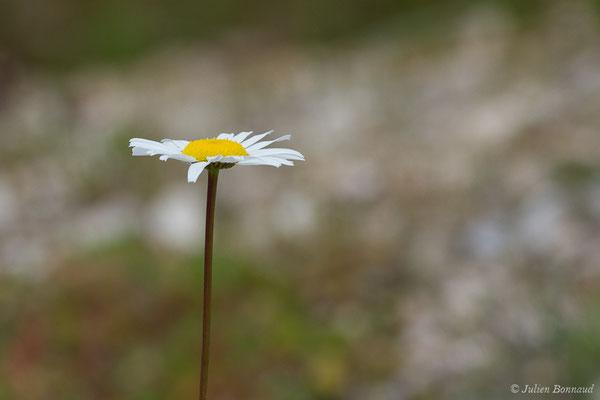 Marguerite commune (Leucanthemum vulgare) (Aulon (31), France, le 03/05/2019)
