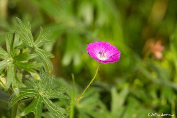 Géranium sanguin (Geranium sanguineum) (fleur) (Pontivy (56), France,  le 03/02/2018)