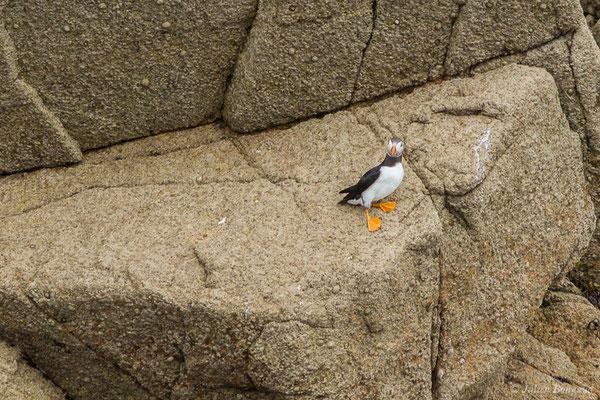 Macareux moine – Fratercula arctica (Linnaeus, 1758), (Réserve naturelle nationale des Sept-Îles, Perros-Guirec (22), France, le 05/07/2021)