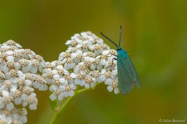 Turquoise (Adscita sp.) (mâle) (Laglorieuse (40), France, le 26/05/2020)