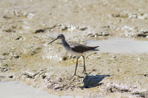 Chevalier solitaire (Tringa solitaria) (adulte, plumage nuptial) (Dégrad des Cannes, Remire-Montjoly, le 08/11/2015)