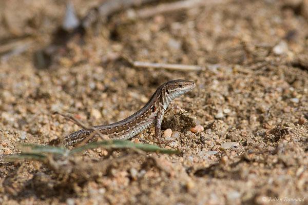 Lézard sicilien ou Lézard des ruines (Podarcis siculus) (femelle adulte) (Poticcio (2A), France, le 01/09/2019)