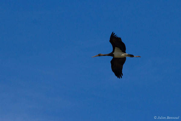 Cigogne noire – Ciconia nigra (Linnaeus, 1758), (Tudela (Navare), Esapgne, le 30/09/2021)