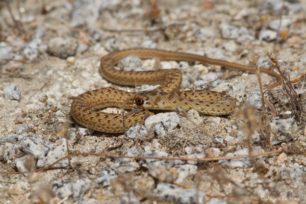 Couleuvre de Montpellier – Malpolon monspessulanus (Hermann, 1804), (juvénile) (Nossa Senhora da Tourega (Évora), (Algarve), Portugal, le 05/09/2018)