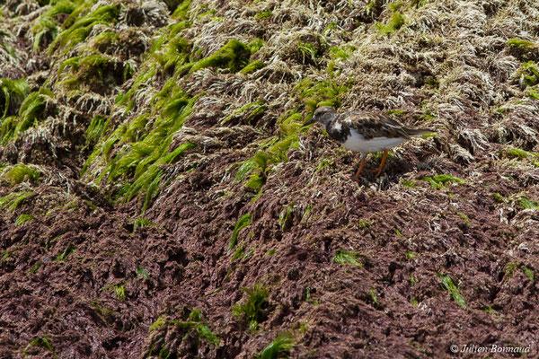 Tournepierre à collier (Arenaria interpres) (adulte plumage internuptial) (Ile du Grand Connétable, le 09/08/2017)