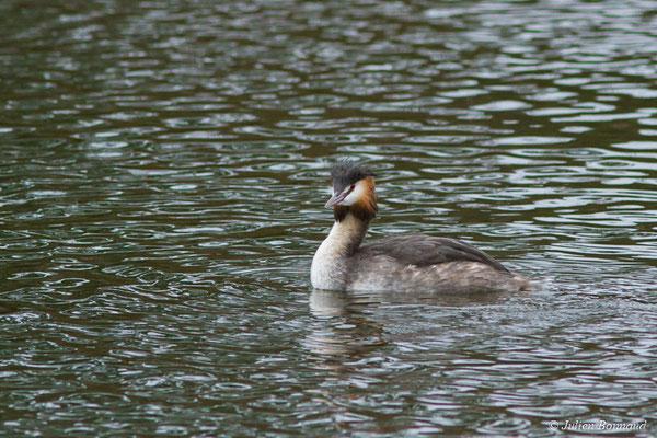 Grèbe huppé (Podiceps cristatus) (adulte en plumage nuptial) (réserve ornithologique du Teich (33), France, le 23/01/2018)