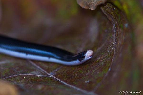 Typhlops réticulé (Typhlops reticulatus) (Montsinéry, le 13/04/2017)