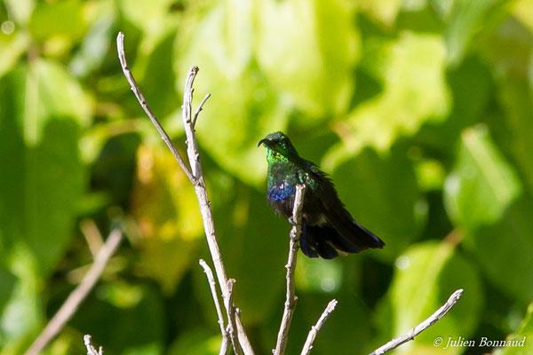 Colibri falle-vert (Eulampis holosericeus)