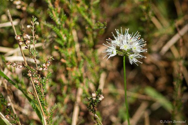 Ail des landes ou Ail des bruyères (Allium ericetorum) (Bedous (64), France, le 21/10/2020)