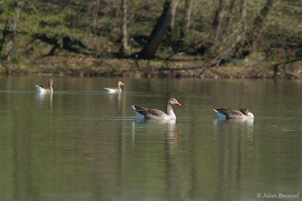 Oie cendrée – Anser anser (Linnaeus, 1758), (Lac d'Orthez (64), le 16/03/2019)