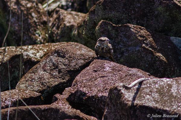 Engoulevent trifide (Hydropsalis climacocerca) (adulte) (Barrage de Petit-Saut, Kourou, le 04/08/2016)