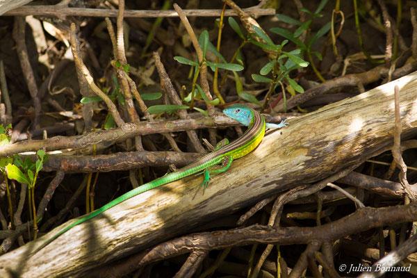 Lézard coureur galonné (Cnemidophorus lemniscatus) (mâle adulte) (Mana, le 10/09/2016)