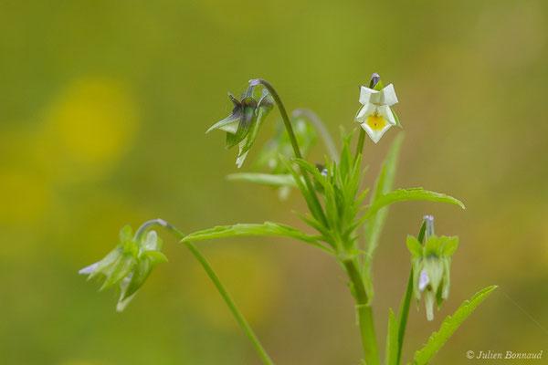 Pensée des champs (Viola arvensis) (Lagloriause (40), France, le 26/05/2020)