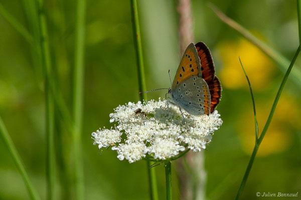 Cuivré des marais ou Grand cuivré (Lycaena dispar) (femelle) (Parbayse (64), France, le 07/05/2020)