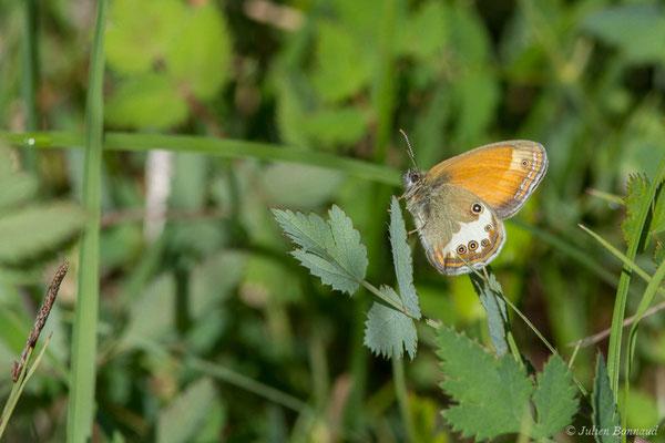 Céphale (Coenonympha arcania) (Pihourc, Saint-Godens (31), France, le 21/05/2018)