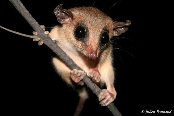 Opossum-souris délicat des Guyanes (Marmosops parvidens) (Plage des Salines, Remire-Montjoly, le 26/06/2015)