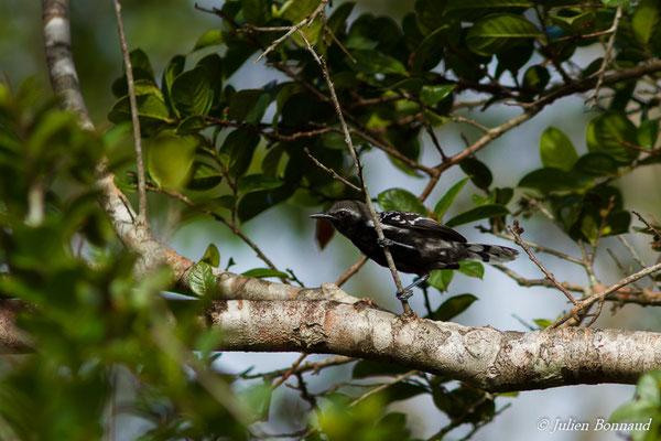 Grisin de Cayenne (Formicivora grisea) (mâle adulte) (Centre Spatial Guyanais, Kourou, le 21/02/2017)
