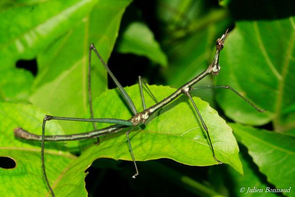Proscopia scabra (mâle adulte) (sentier Vidal, Remire-Montjoly, le 25/07/2015)