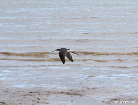 Chevalier solitaire (Tringa solitaria) (adulte, plumage intermédiaire) (Dégrad des Cannes, Remmire-Montjoly, le 17/11/2015)
