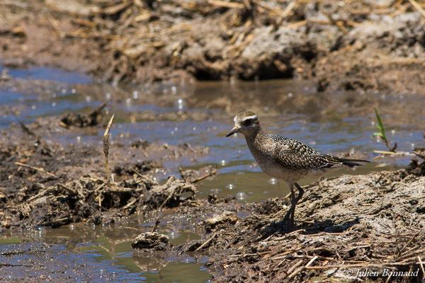 Pluvier bronzé (Pluvialis dominica) (adulte, plumage internuptial) (Marais Leblond, Cayenne, le 26/09/2016)