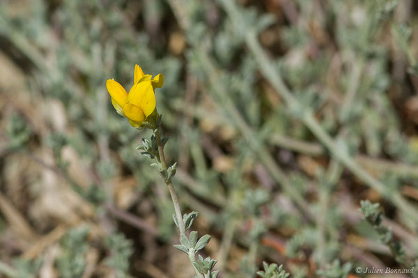Lotier de Crète (Lotus creticus) (La Peña (Andalousie), Espagne, le 03/08/2020)