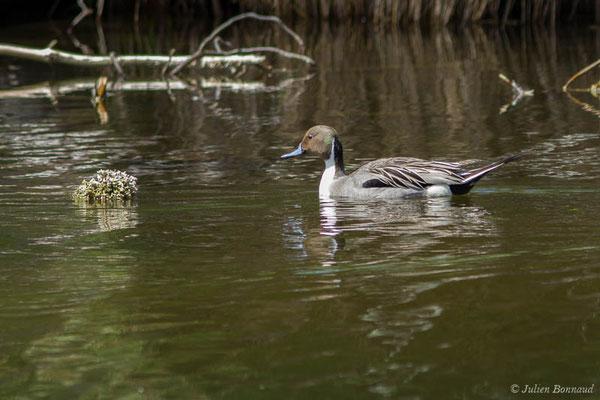 Canard pilet – Anas acuta Linnaeus, 1758, (mâle en mue estivale)  (réserve ornithologique du Teich (33), France, le 23/05/2021)