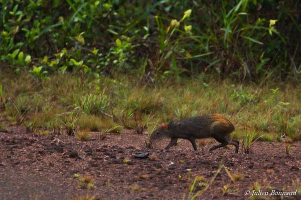 Agouti au croupion roux (Dasyprocta leporina) (Centre Spatial Guyanais, Kourou, le 17/02/2017)