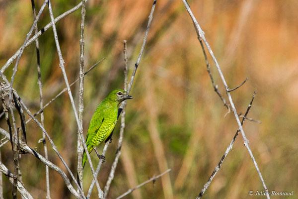 Tersine hirondelle (Tersina viridis) (femelle adulte) (mine d'or Dorlin, Maripassoula, le 27/05/2017)