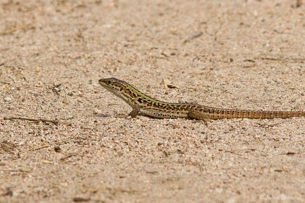 Lézard sicilien ou Lézard des ruines (Podarcis siculus) (mâle adulte) (Poticcio (2A), France, le 01/09/2019)