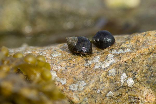 Bigorneau – Littorina littorea (Linnaeus, 1758), (Île-Grande, Pleumeur-Bodou (22), France, le 06/07/2021)