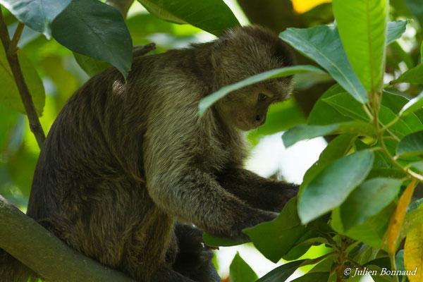 Capucin olivâtre (Cebus olivaceus) (adulte) (Zoo de Guyane, Montsinéry, le 16/10/2016)