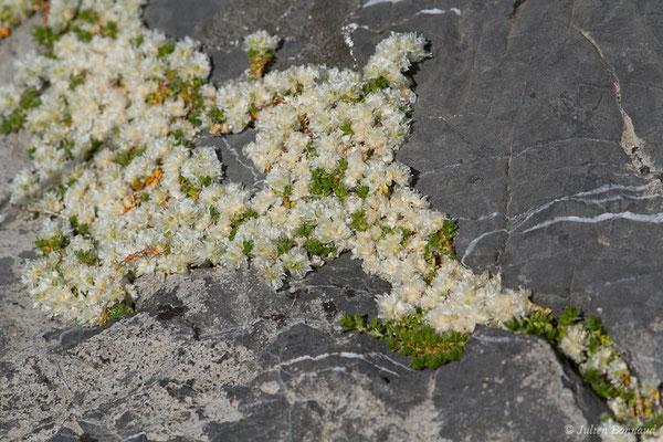 Paronyque à feuilles de Serpolet (Paronychia kapela subsp. serpyllifolia) (Col du Pourtalet, Laruns (64), France, le 06/07/2019)