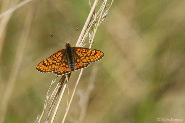 Damier de la succise ou Damier des marais (Euphydryas aurinia) (Pihourc, Saint-Godens (31), France, le 16/05/2019)
