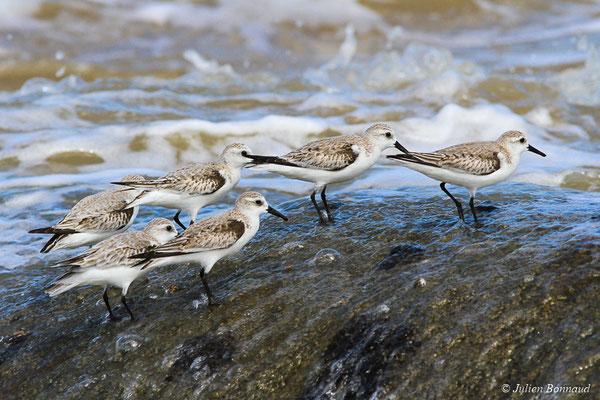 Bécasseau sanderling (Calidris alba) (adulte, plumage internuptial) (Pointe Buzaré, Cayenne, Guyane, le 12/12/2015)