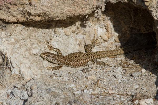 Lézard à dos verdâtre (Podarcis virescens) (Évora (Algarve), Portugal, le 07/09/2018)