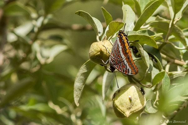Nymphale de l'Arbousier ou Jason ou Pacha à deux queues ou Jasius (Charaxes jasius) (Tarifa (Andalousie), le 02/08/2020)
