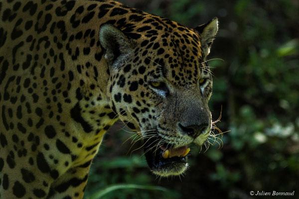 Jaguar (Panthera onca) (Zoo de Guyane, Montsinéry, le 03/09/2017)
